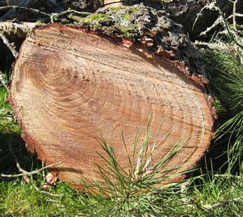 Life science activity, Tree Rings, Photo by Myrna Martin