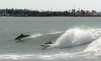 Wave surfer and dolphin near Surfer's Point in Ventura on February 28, 2010. Photo by Tim Hanson
